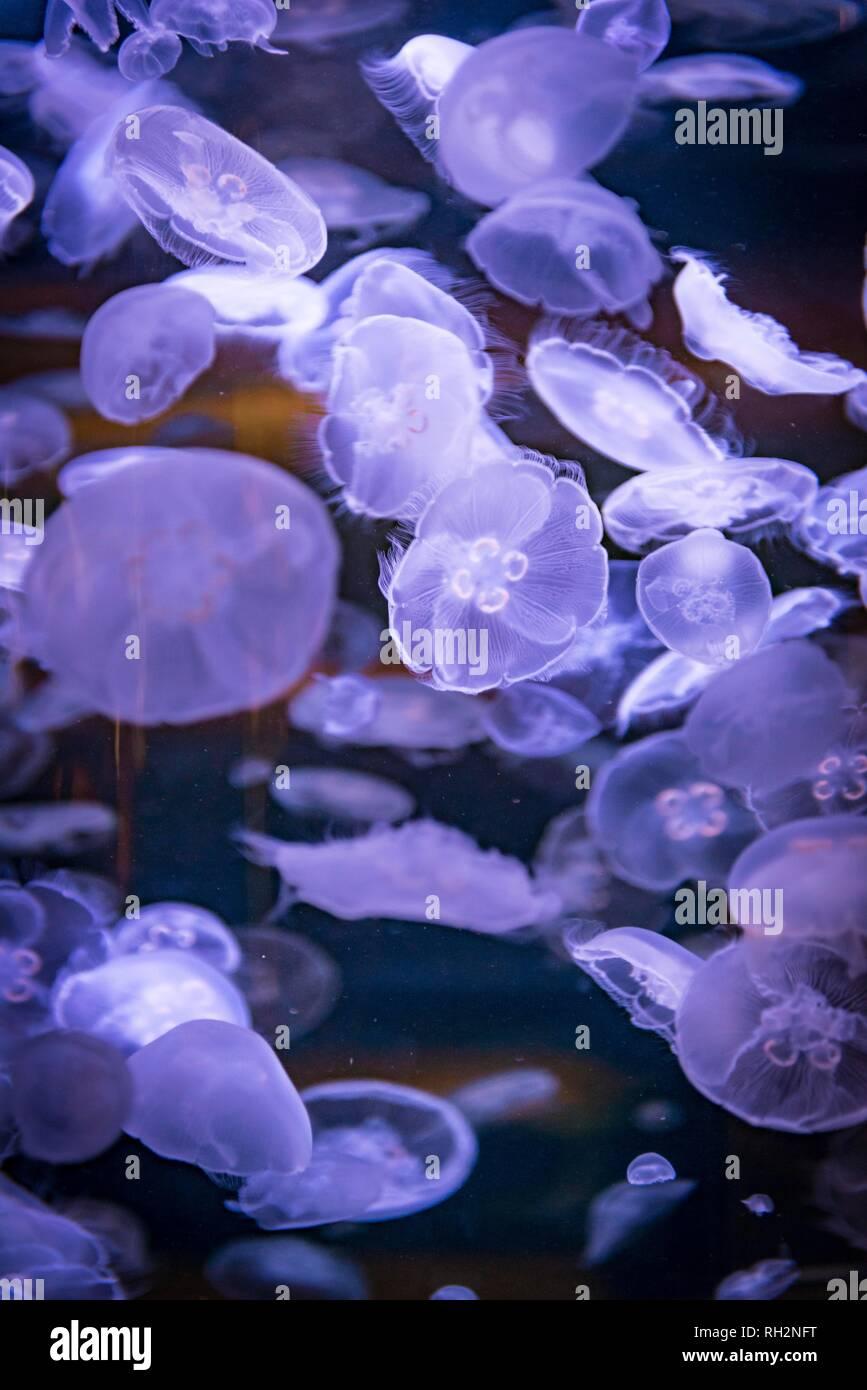 Viele transparente gemeinsame Quallen (Aurelia aurita) in einem Aquarium, vorkommen Pazifik, Aquarium Vancouver, British Columbia. Stockfoto