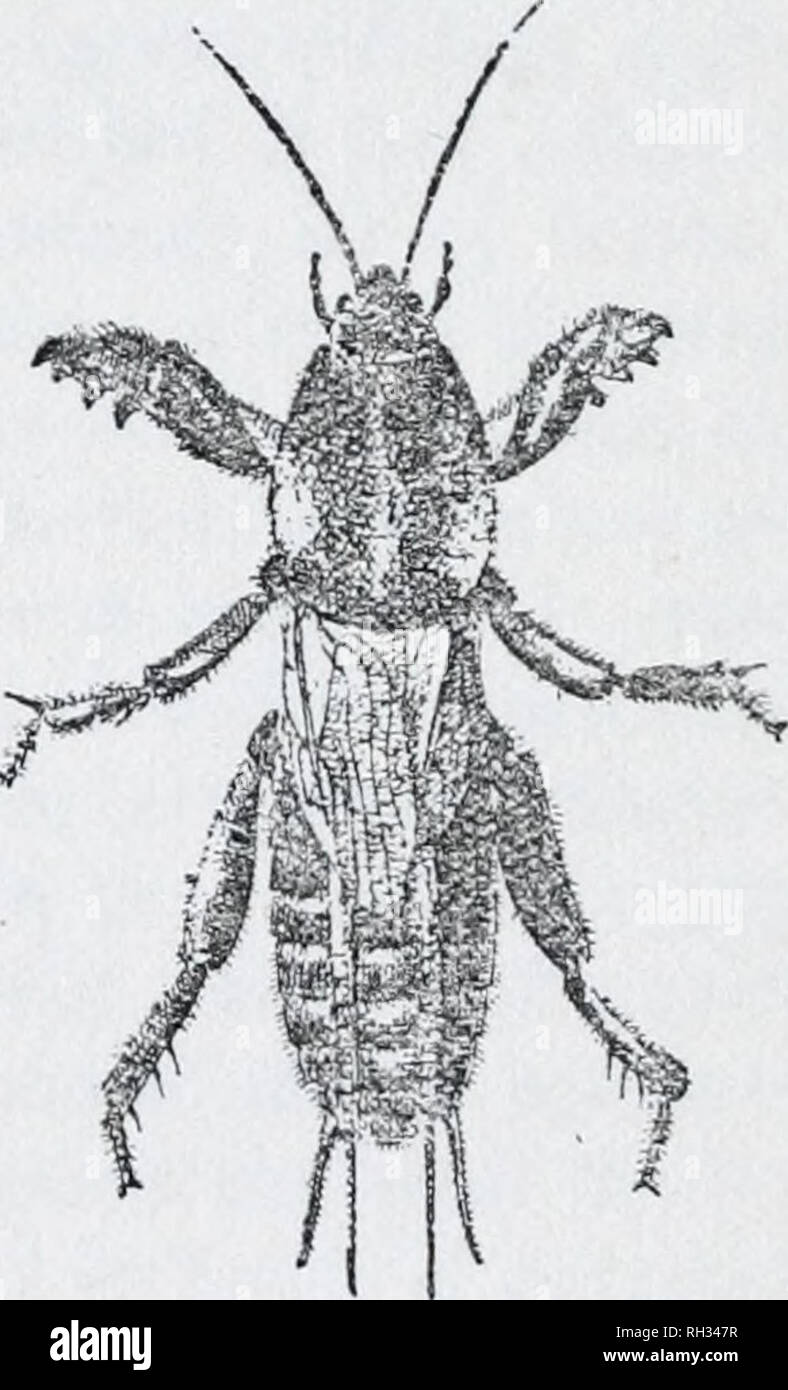 . Britische Insekten (Allgemein). Mit Ill. von Doris Meyer. Insekten - Großbritannien. Britische INSEKTEN Häuser wie für die Alten. Bisher haben wir uns mit Mitgliedern des Ordens Orthoptera, die schnell von einem krabbeln oder laufen Bewegung Bewegen, sondern in der Familie Gryllidce oder Grillen, kommen wir zu dem ersten Abschnitt von denen, die zu hüpfen, springen, oder springen. Diese Insekten haben lange, dünne Antennen, oder Fühler und zwei oder höchstens drei verbunden, Beine. Fast alle die Grillen sind in einem nüchternen Schicht bräunlich, oder Horn Farbe gekleidet, und die meisten von ihnen Resort zu graben, oder versteckt sich unter Stockbild