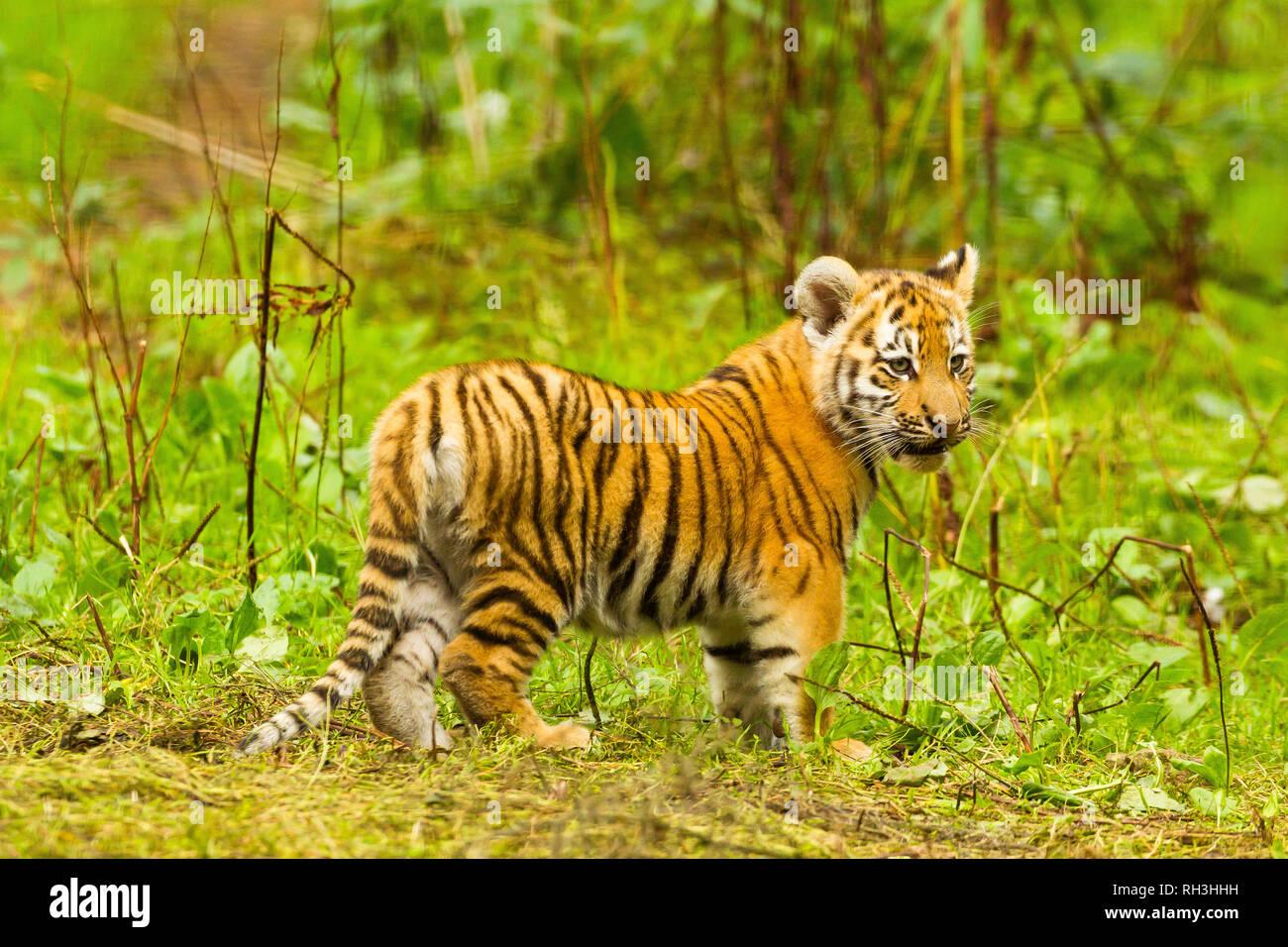 Amursibirische Tiger Cub Panthera Tigris Altaica Zu Fuß Durch