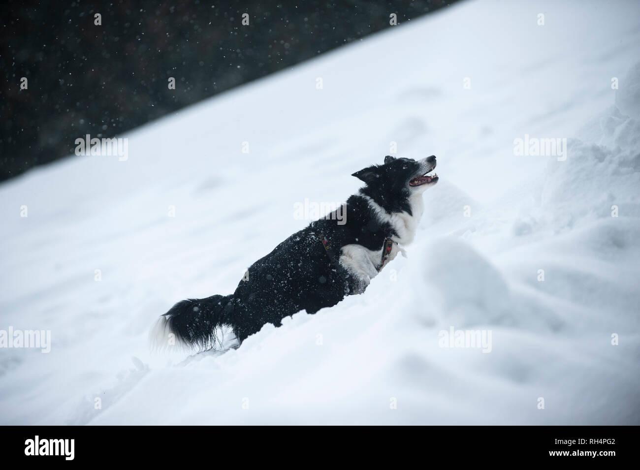 Border Collie Im Winter Landschaft Schwarz Weißer Hund Auf Schnee