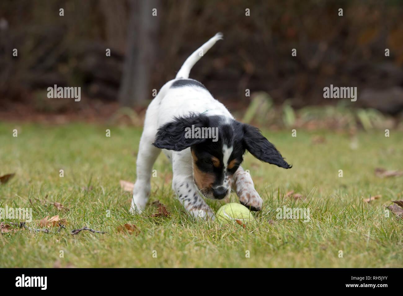 Acht Wochen alten English Setter Welpen spielen mit Tennis ball Stockbild