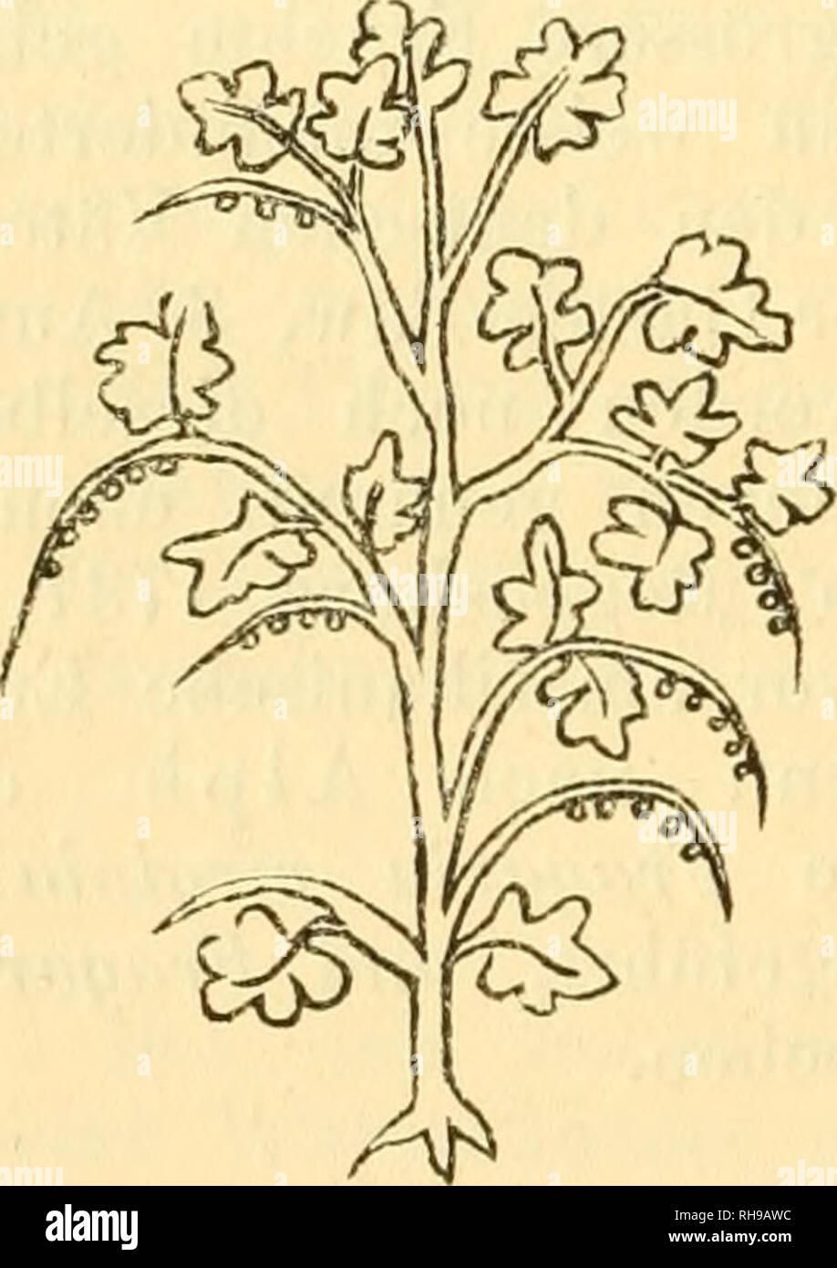 """. Botanisches Zentralblatt; referierendes Organ für das Gesamtgebiet der Botanik. Botanik; Botanik. 372 Fischer-Benzon, Geschichte unseres Beerenobstes. Mussten aber scheitern, weil of this Strauch in Spanien gar-iiicht und in Italien nur in den Gebirgen im Norden des Landes^ und dort auch nur spärlich, vorkommt. Auch in den Schriften des Mittelalters wird sterben Johannisbeere vor dem 15. Jahrhundert nicht erwähnt. Zu Anfang dieses Jahrhunderts wird sie nämlich zum ersten Male genannt in einem Manuskript, das Sterben Glosse^ WJes sunt Johannesdrübel"""" enthält (L. Diefenbach, Glossarium l Stockbild"""