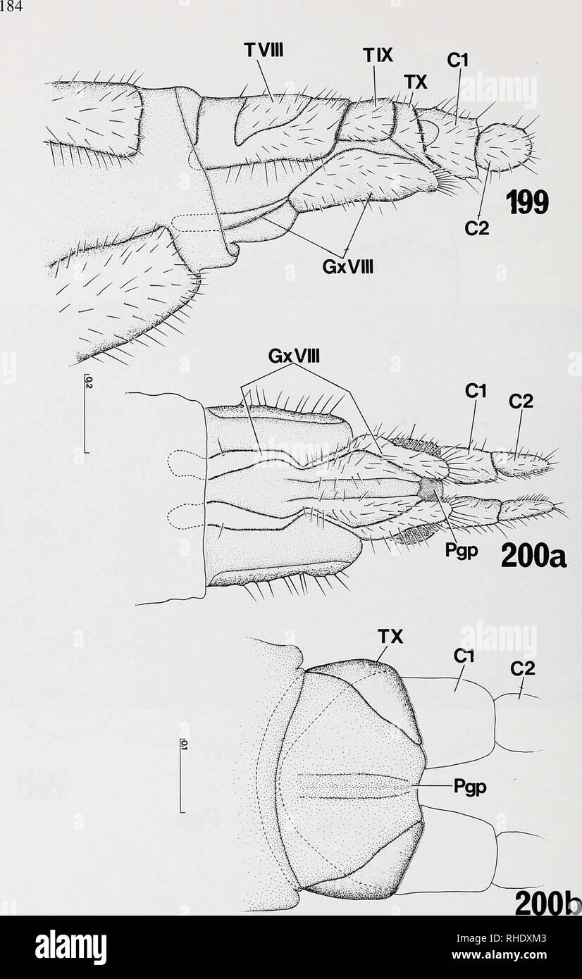. Bonner zoologische nach 1550. Zoologie. Abb.199-200: legeröhre von Sciara Thomae (Sciaridae), Exoskelett: (199) Lateralansicht; das Gono - coxosternit VIII (Gx VIII) ist stark verlängert; (200a) von ventral; (200b) Verbindung der talplatte Postgeni-mit-dm Tergum X. Maßstäbe in mm.. Bitte beachten Sie, dass diese Bilder sind von der gescannten Seite Bilder, die digital für die Lesbarkeit verbessert haben mögen - Färbung und Aussehen dieser Abbildungen können nicht perfekt dem Original ähneln. extrahiert. Bonn, Zoologisches Forschungsinstitut und Museum Alexander Koenig Stockbild