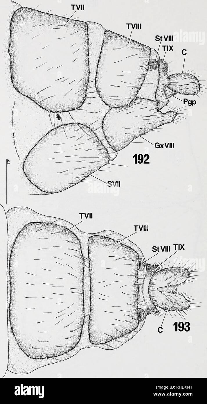 . Bonner zoologische nach 1550. Zoologie. 180. Abb. 192-193: Dilophus febrilis (Bibionidae), Exoskelett der prägenitalen Segmente VII und VIII und der legeröhre: (192) von lateral, Vgl. Lage und Form der Stigmen VII und VIII; (193) von Dor-sal. Kundennr. in mm.. Bitte beachten Sie, dass diese Bilder sind von der gescannten Seite Bilder, die digital für die Lesbarkeit verbessert haben mögen - Färbung und Aussehen dieser Abbildungen können nicht perfekt dem Original ähneln. extrahiert. Bonn, Zoologisches Forschungsinstitut und Museum Alexander Koenig Stockbild
