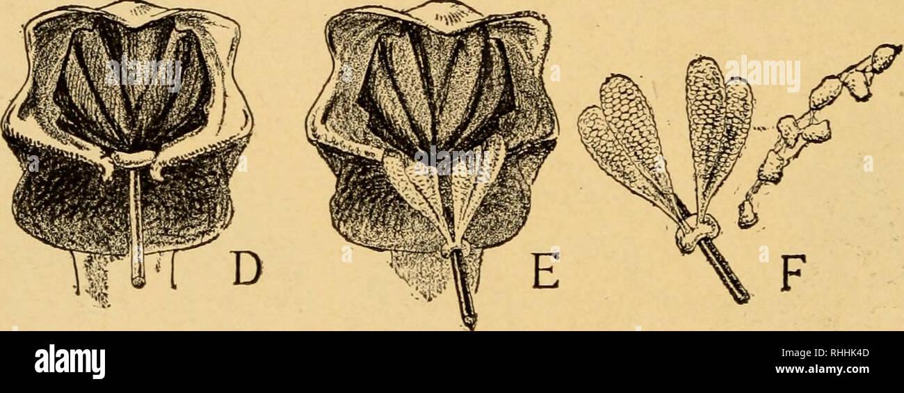 . Blüte und Insekt Gäste; wie die Heide Familie, die bluets, Braunwurzgewächse, die Orchideen und ähnliche wilde Blumen willkommen die Biene, die Fliegen, Wespen, Motten und andere Insekten treu. Düngung von Pflanzen. Membran C. Abb. 4. Die einzelne Blüte ist dargestellt in Abb. vergrößert. 3A, eine junge Blume, mit Analysen B und C, die letztere indiziert; D, eine ältere Blume, mit ähnlichen Analysen E und F. Beide Arten sind auf jeden Spike von Bloom gefunden werden, wie der blütenstand - beginnt an der Basis, und geht nach oben. Da wir 146. Bitte beachten Sie, dass diese Bilder aus gescannten Seite imag extrahiert werden Stockbild