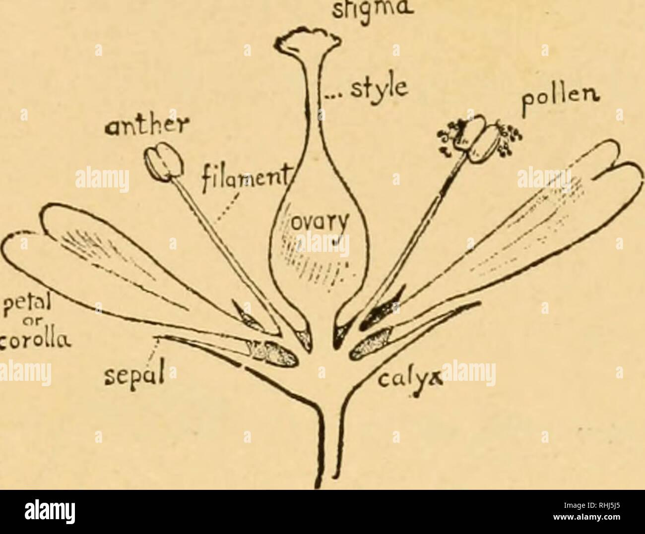 . Blüte und Insekt Gäste; wie die Heide Familie, die bluets, Braunwurzgewächse, die Orchideen und ähnliche wilde Blumen willkommen die Biene, die Fliegen, Wespen, Motten und andere Insekten treu. Düngung von Pflanzen. Die Entdeckungen von vier großen Botaniker. Abb. Aufbau einer Blume, aber um dieses Verständnis zu versichern, ist es gut, vielleicht, unser Gedächtnis aufzufrischen in Bezug auf die begleitenden Dia-gramm. Abb. Ich, einer Ab-stract Blume, die verschiedenen Teile indiziert zu werden. Der Kelch in der Regel en - Schließt die Knospe, und Mav tubuläre oder aus separaten Blättern oder Kelchblätter, wie in eine Rose. T Stockbild