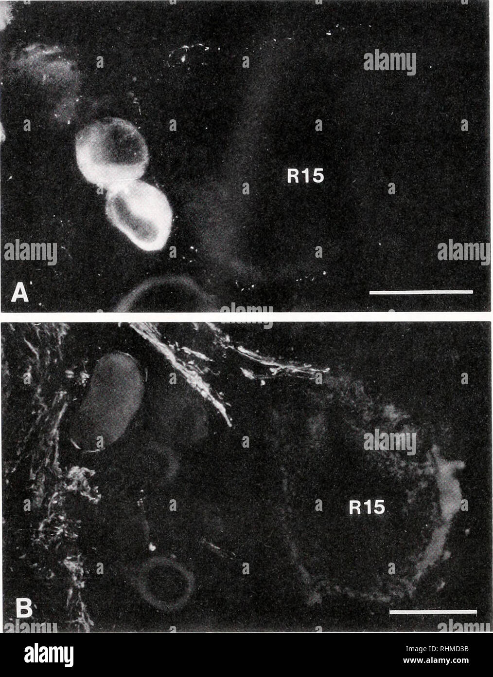 """. Die biologische Bulletin. Biologie; Zoologie; Biologie; Meeresbiologie. 492 S. und G. J. MPITSOS SOINILA. Abbildung 5. Neuron RI 5 von Aplvsia abdominal Ganglienzellen. Serotonin- (A) und (B) FMRFamide-immu-noreaelive Klemmen Surround eng R 15 Soma (A) oder deren Axon hillock Region (B). Bar = 100^m. medial Ecken und an der kaudalen Rand. Die 1 """"IP-immu-noreactive Neuronen vor allem auf die dorso-medial Region liegt. Die Anzahl der FMRFamide - und Scpb - immunoreaktives Neuronen war größer als diejenigen für andere Färbungen. Zurück - Einspritzanlage/Aplysia zerebral-bukkale Bindegewebe. Um zu prüfen, die Herkunft der Stockbild"""