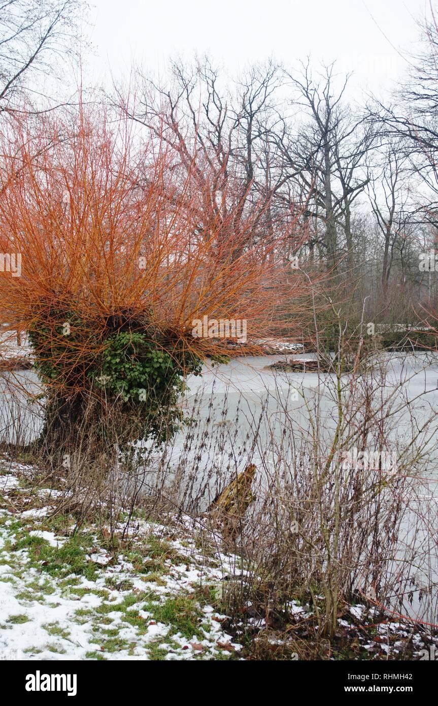 Park Herzebrock Clarholz, alte Bäume, Wasser, Teich, Meer, icey, Winter, rot Baum, alte Weide, Wind in den Weiden, Klostergarten, Architektur, Poster, Wallpaper, rot Stockbild