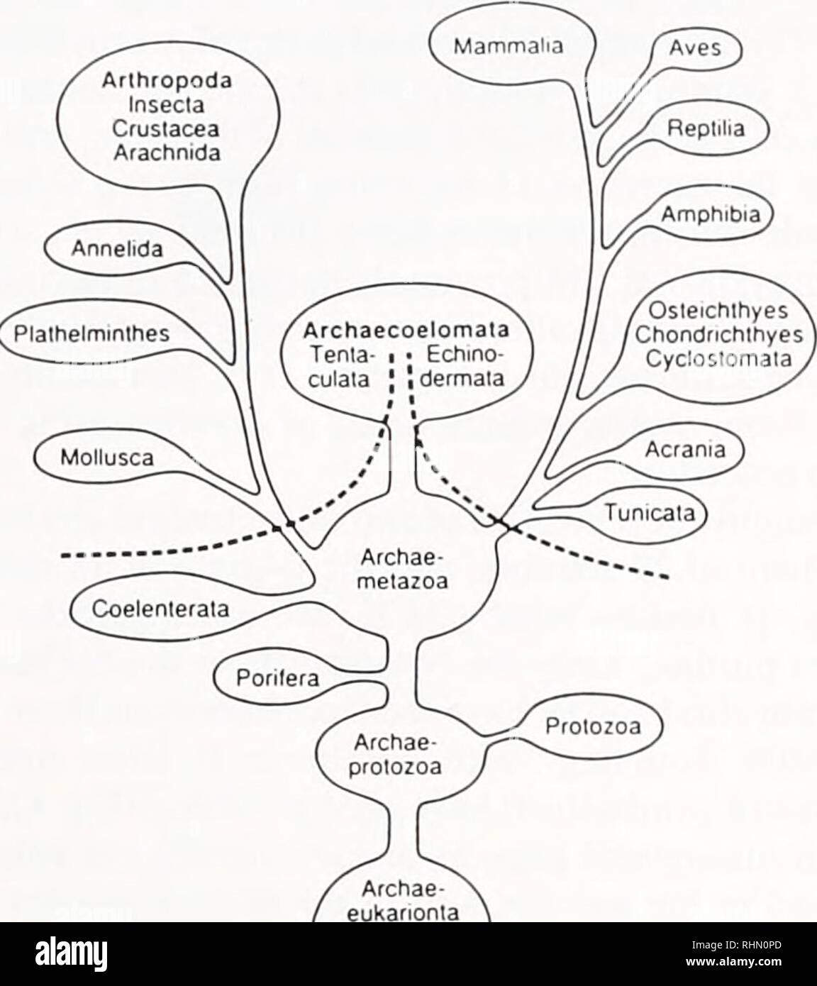 . Die biologische Bulletin. Biologie; Zoologie; Biologie; Meeresbiologie. Das INSULIN FAMILIE 177 PROTOSTOMIA DEUTEROSTOMIA Osteichihyes Chondnchlhyes Cycloslomala Archaecoelomala Tenia-i ? Echmo - culaia [* dermata. Tabelle I Identifikation von Insulin-like Peptide in der Wirbellosen durch Immunzytochemie Abbildung 1. Ein phylogenetischer Baum, zeigt die polyphyletic Herkunft der verschiedenen Stämme im Tierreich. (Geändert und erweitert nach Karlson, 1983). In einer Reihe von verschiedenen Arten, die in erster Linie Insekten und Mol-luscs (Tabelle I). In Muscheln, Immunoreactivity tritt nicht nur in der neuronalen Gewebe, aber Stockbild