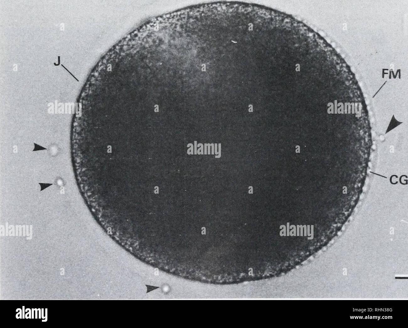 . Die biologische Bulletin. Biologie; Zoologie; Biologie; Meeresbiologie. u 1234 STUNDEN NACH DEM LAICHEN ABBILDUNG 3. Beziehung zwischen der Fähigkeit des Eies normal entwickeln und zum Zeitpunkt der Besamung nach der Laichzeit bei 23 °C beträgt. Messung wurde drei Mal gemacht und etwa 100 Eier waren bei jeder Messung untersucht. Mittelwert ± Standardabweichung. FM*, Düngung Membran; HL**, Hyaline Layer. Zelllinie. Aufeinanderfolgende Divisionen treten bei ca. 40-min-Abständen, produziert eine sphärische Blastula mit einer schmalen blastocoel (Abb. 21). Die Embryonen, die Luke im Blastula-stadium. In der Regel schwimmen bl Stockbild