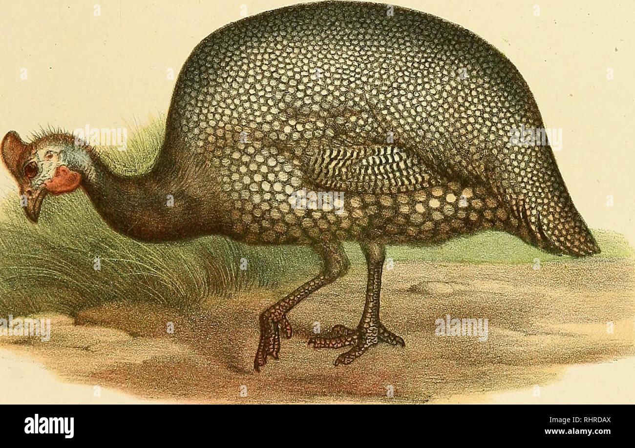 . Bilder - Atlas zur Wissenschaftlich - populären Naturgeschichte der Vögel in human sämmtlichen Hauptformen. Vögel. Tiff. ZSS. M:. I'7 f/. ZyV. iJff. s, Irf?/RR // 7 r 7 r ///-J // // // t - CJfelMffris Gal/o/rmw. ≫ Jia. Ich Wdbchm-J'/f/.?, y.J. Dfii-'. f/iwrinc J''rr/- Wenn/ihfi. C. Vin/iühi Afrlcfif/riK>. Bitte beachten Sie, dass diese Bilder sind von der gescannten Seite Bilder, die digital für die Lesbarkeit verbessert haben mögen - Färbung und Aussehen dieser Abbildungen können nicht perfekt dem Original ähneln. extrahiert. Fitzinger Leopold Joseph, 1802-1884; Fitzinger Leopold Joseph Franz Johann, 1802 Stockfoto