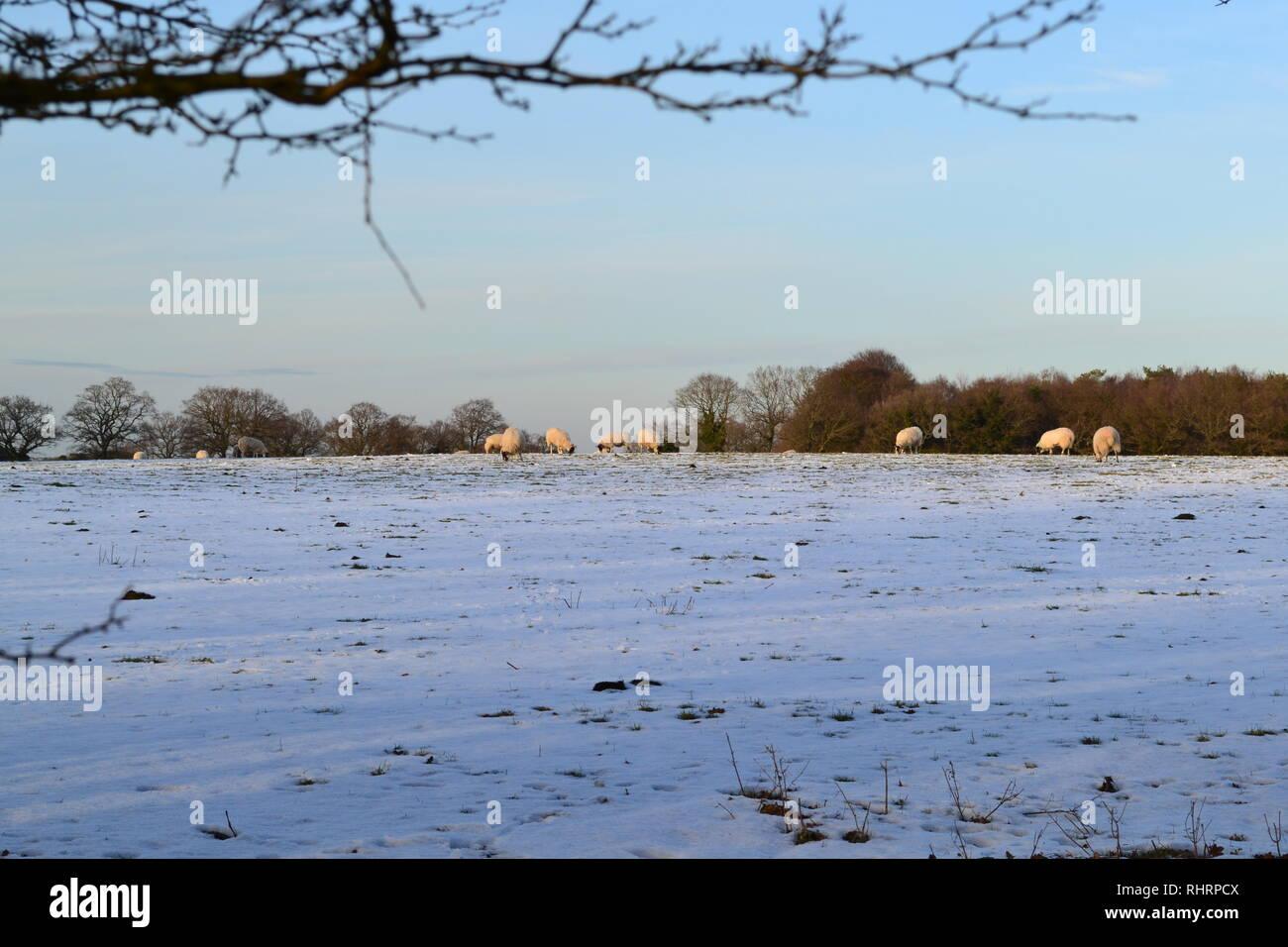 Schöne weiche Winter fällt Licht auf Schafe weiden in Bereichen hoch in den North Downs, auf dem Gipfel des Fackenden, Shoreham, Kent, England Stockfoto