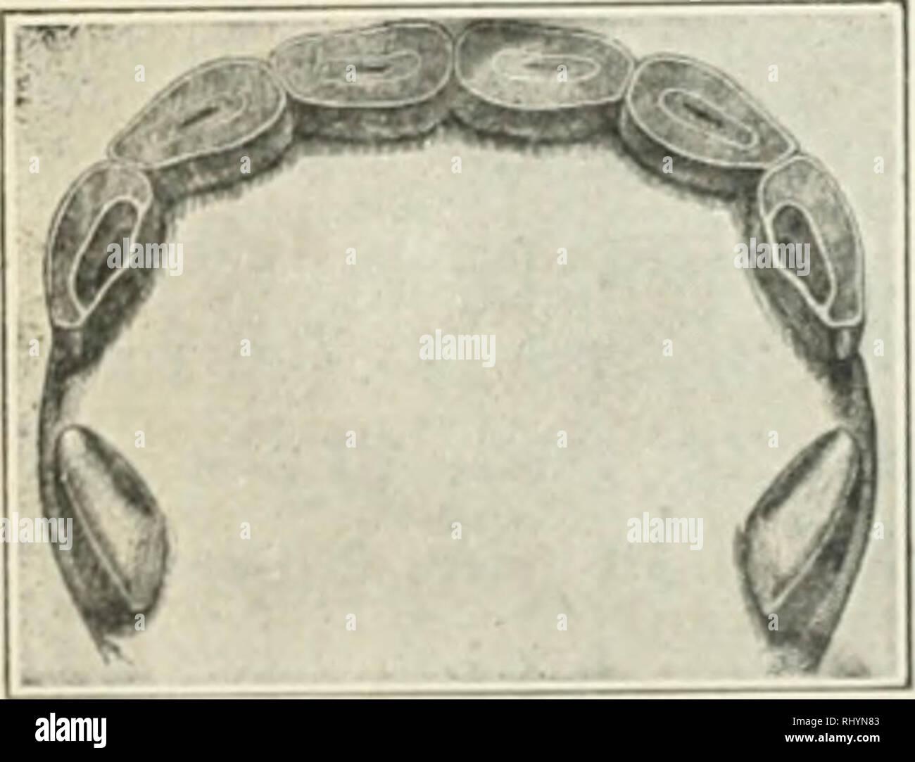. Anfänge in der Tierhaltung. Vieh und Geflügel. Abb. 76. 4 Jahre alt.. Bitte beachten Sie, dass diese Bilder sind von der gescannten Seite Bilder, die digital für die Lesbarkeit verbessert haben mögen - Färbung und Aussehen dieser Abbildungen können nicht perfekt dem Original ähneln. extrahiert. Plumb, Charles Sumner, 1860-1939. St. Paul, Minn: Webb Pub. Co. Stockfoto