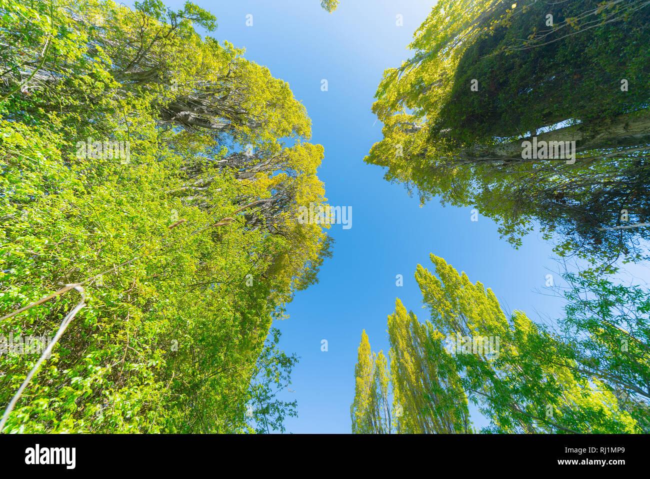 Pappeln erreichen nach oben zu schönen blauen Himmel Stockbild