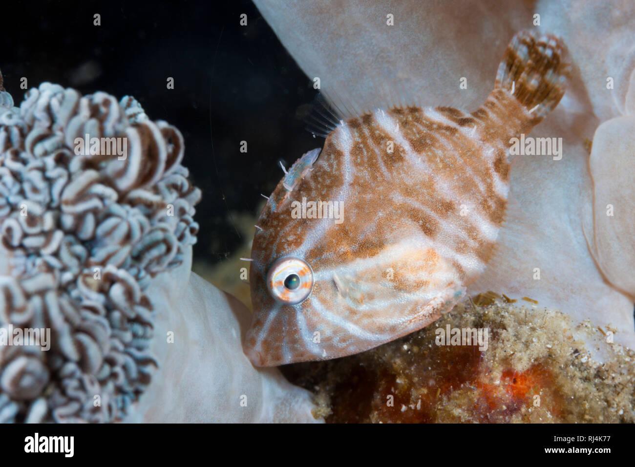 Radial-Feilenfisch, Acreichthys radiatus, Komodo Nationalpark, Indonesien Stockbild