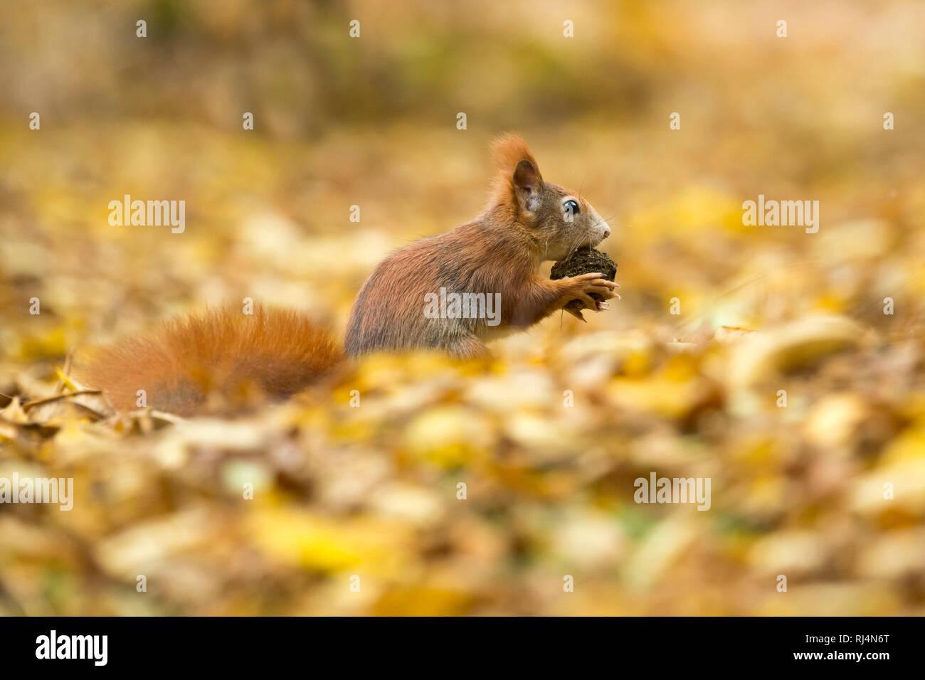Eichhörnchen, Sciurus vulgaris, Tierwelt, Deutschland Stockbild