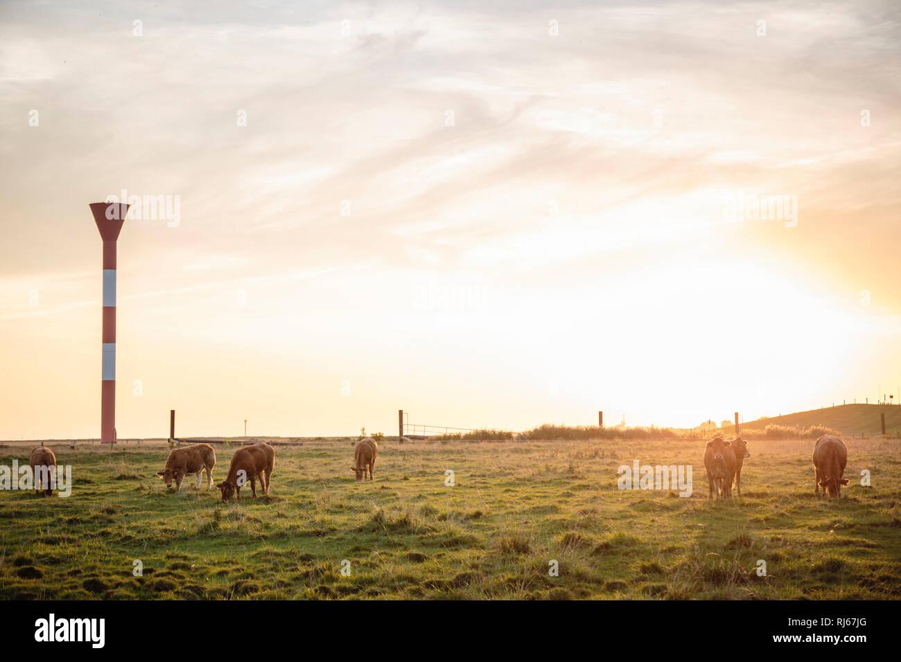 Europa, Deutschland, Niedersachsen, Hadeln, Otterndorf, weidende Kühe am Außendeich bei Sonnenaufgang Stockbild