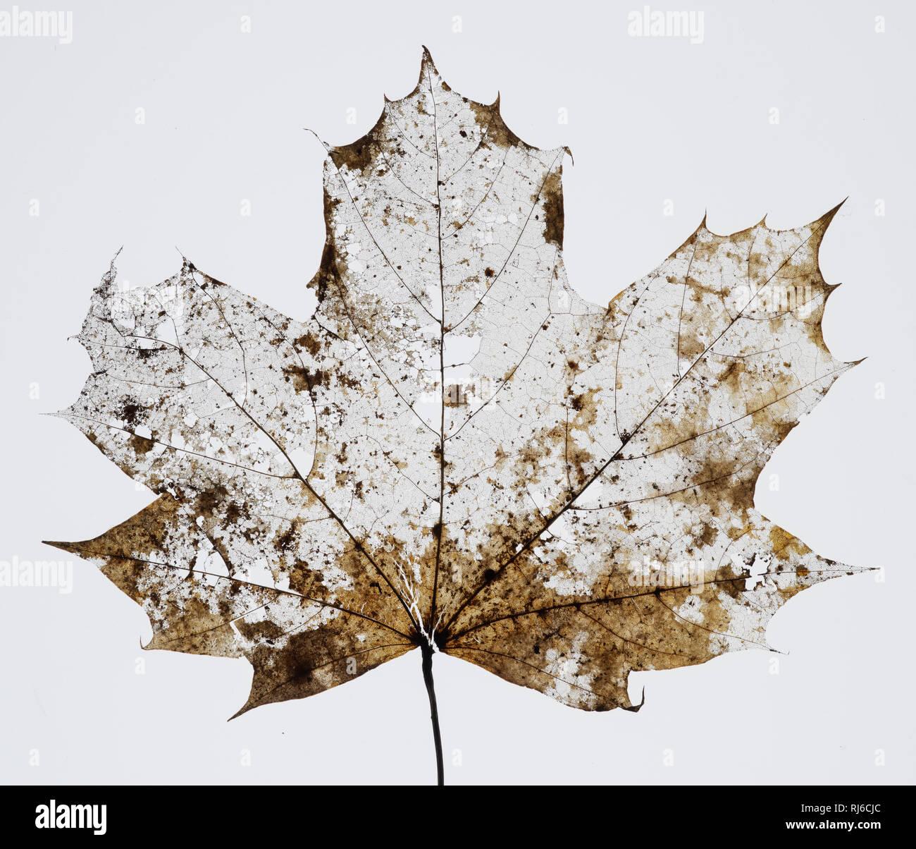 Vertrocknetes Ahornblatt mit Löchern und Ausrissen vor weißem Hintergrund Stockbild