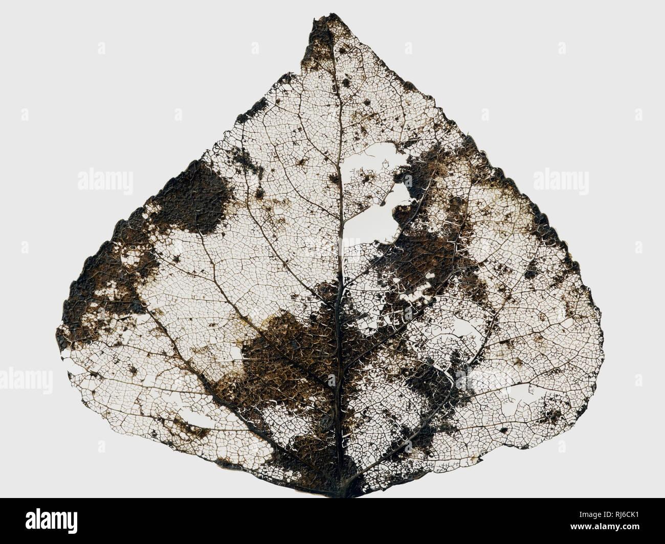 Vertrocknetes Blatt einer Pappel im Herbst vor weißem Hintergrund Stockbild