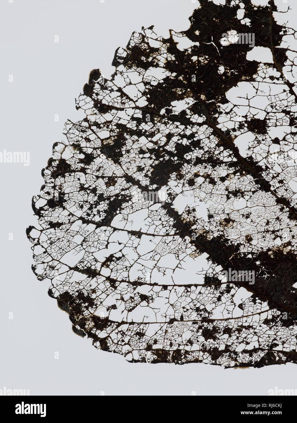 Vertrocknetes Blatt einer Pappel im Herbst vor weißem Hintergrund, Detail Stockbild