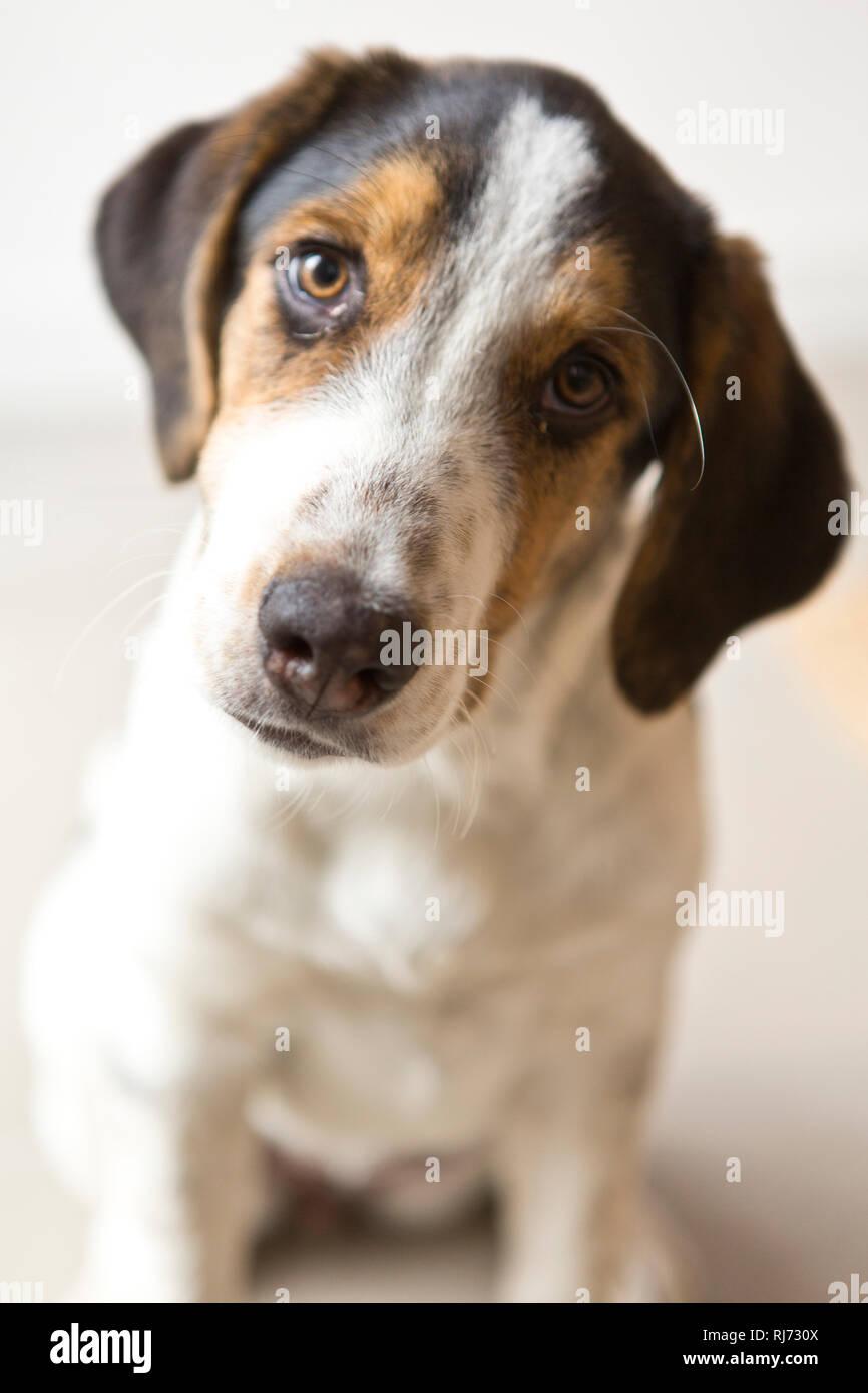 Welpe, Blick Kamera, Porträt, Stockbild