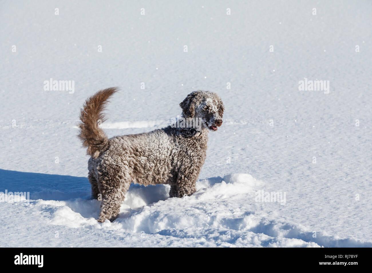 Ein brauner Königspudel spielt im Schnee Stockbild