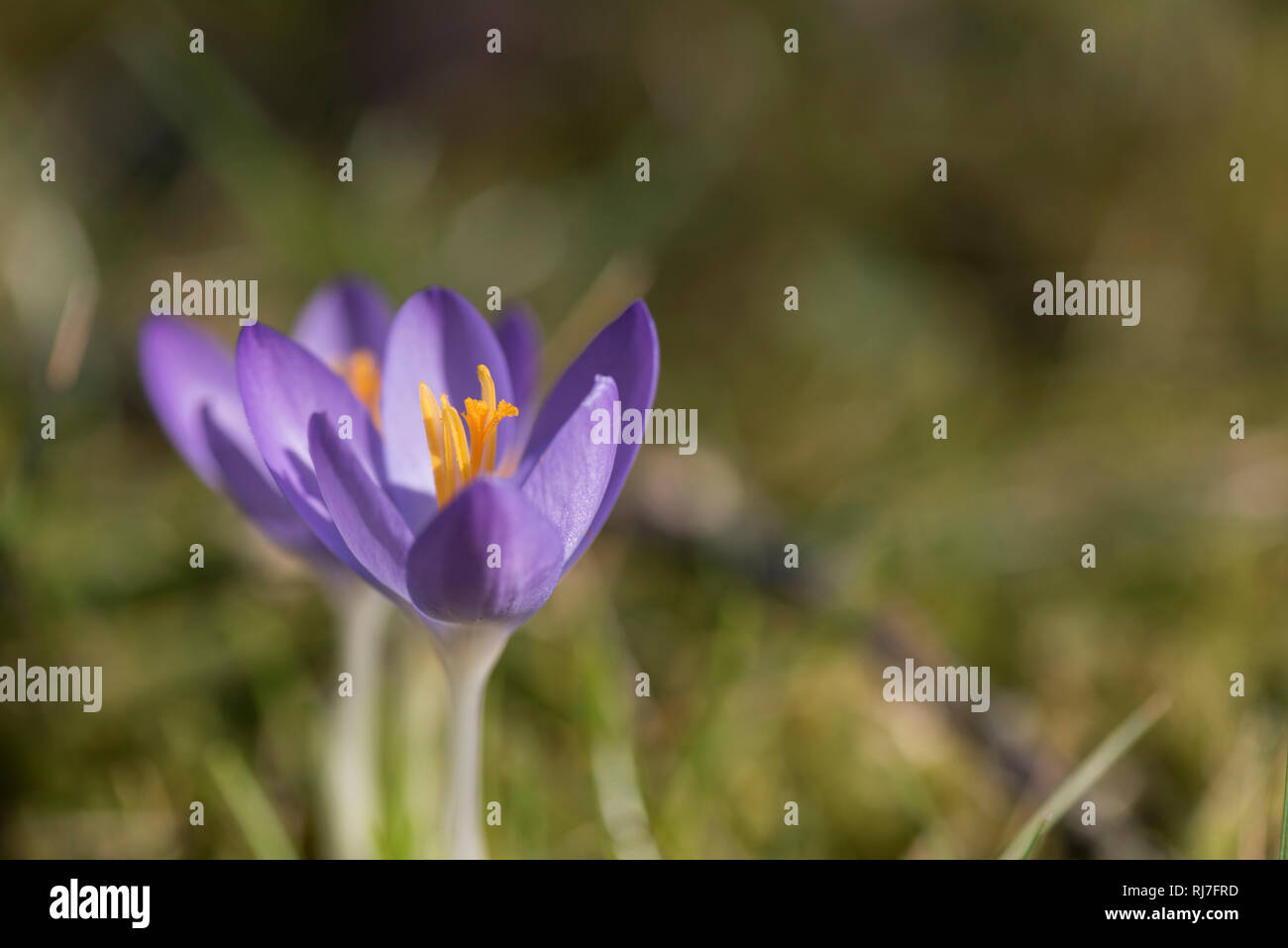 Fruhbluher In Der Natur Lila Krokusse Mit Geoffneten Sky Stockfoto