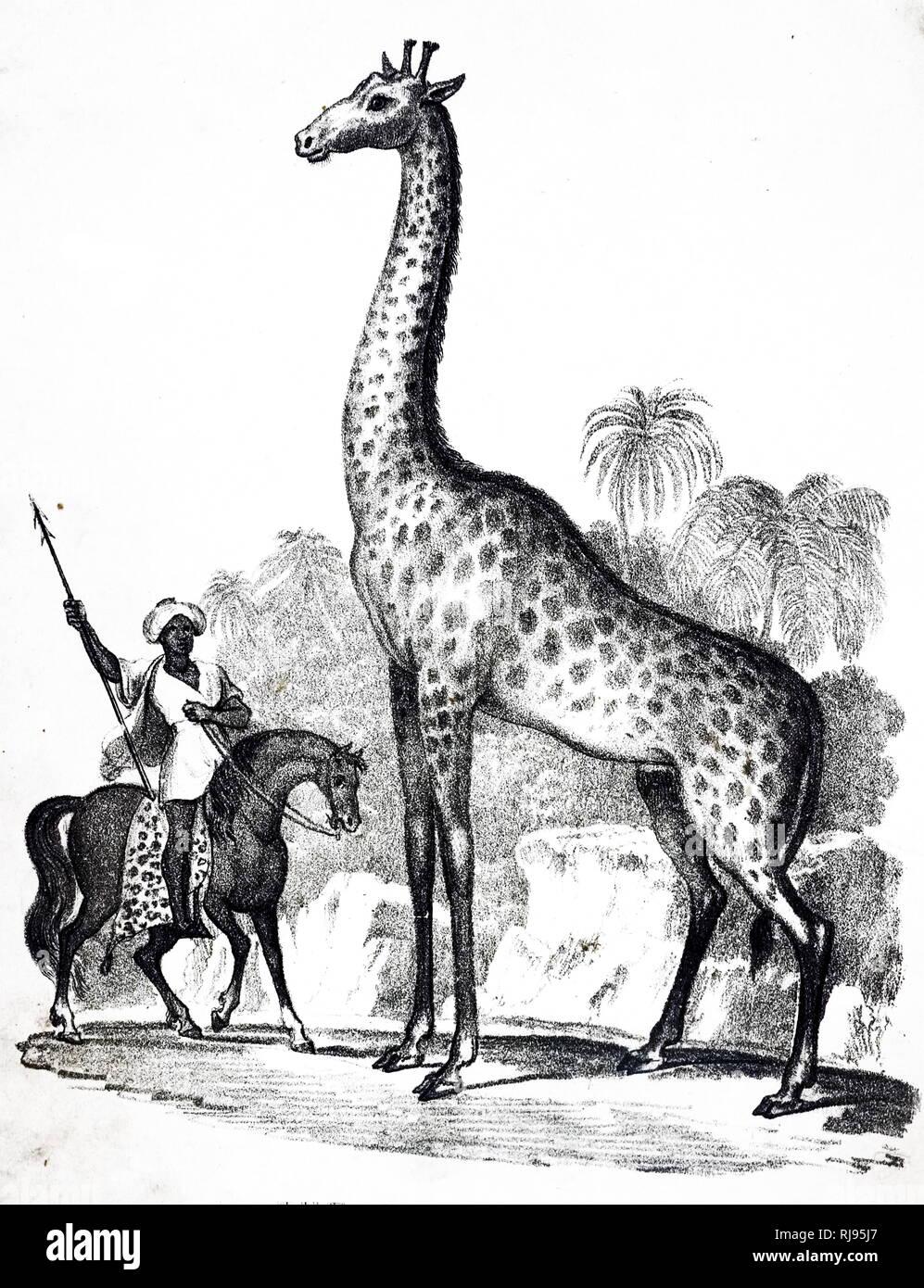 Eine Gravur, eine Giraffe, eine Gattung der Afrikanischen selbst-toed ungulate Säugetiere, die größten lebenden Landtiere und die größte Wiederkäuer. Vom 19. Jahrhundert Stockbild