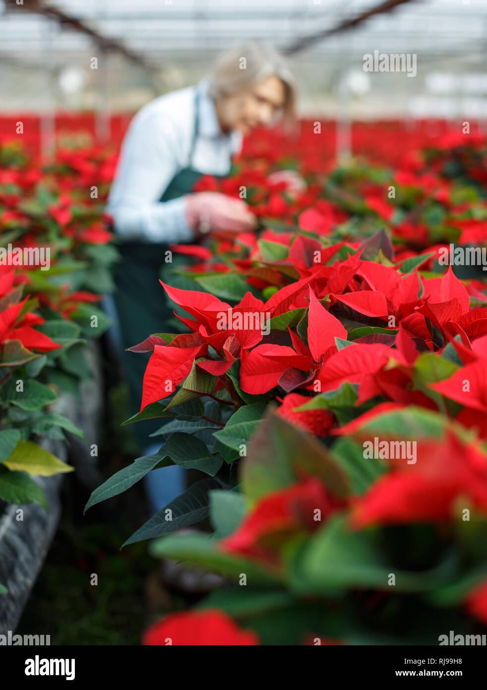 Nahaufnahme Der Bluhenden Weihnachtssterne Auf Unscharfen