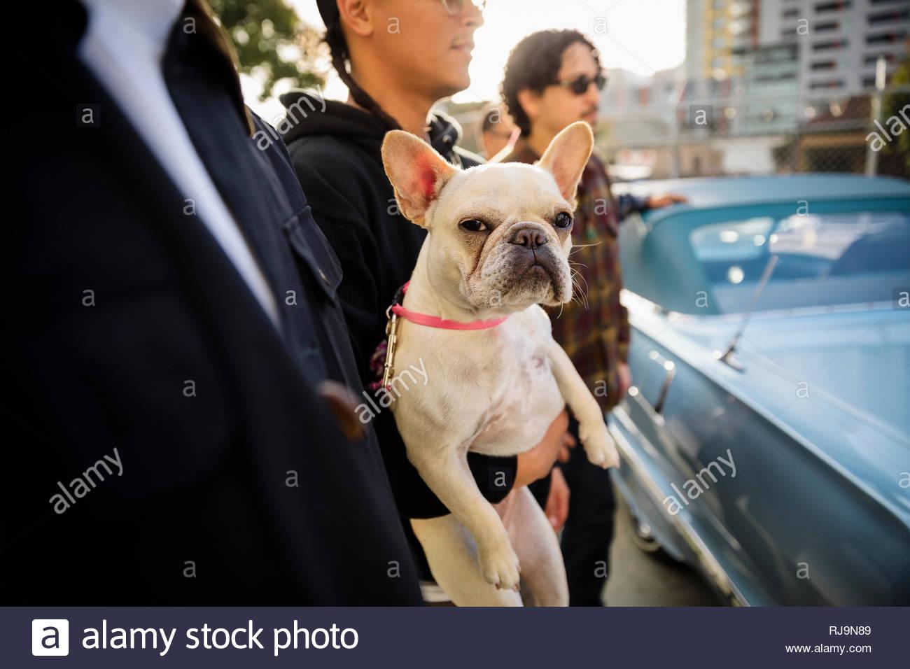 Portrait Französische Bulldogge, die von Menschen gehalten werden Stockbild