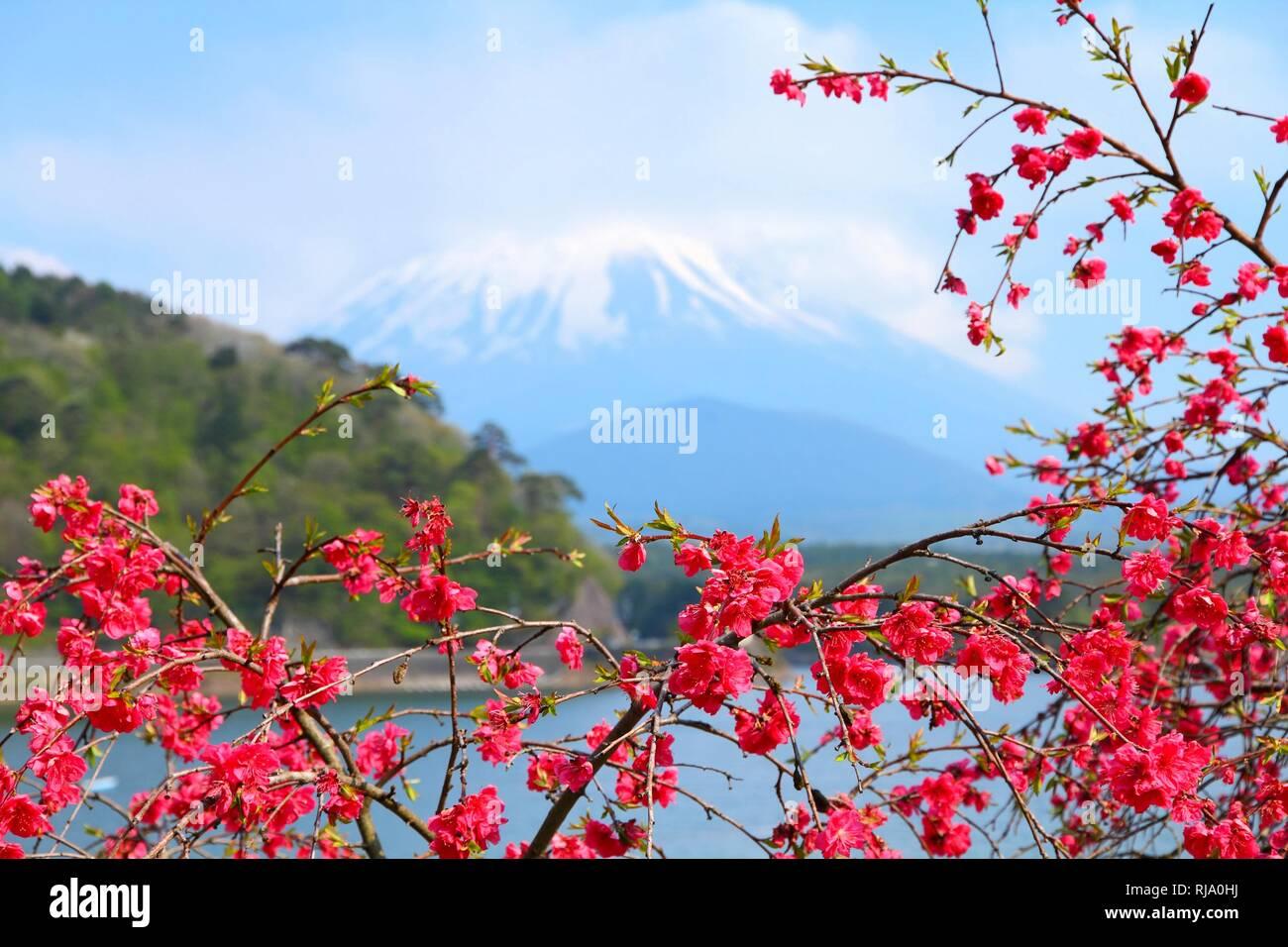 Japan Landschaft mit Berg Fuji in backgrond. Ume Pflaume Blüte. Teil von Fuji fünf Seen im Fuji-Hakone-Izu Nationalpark Stockbild