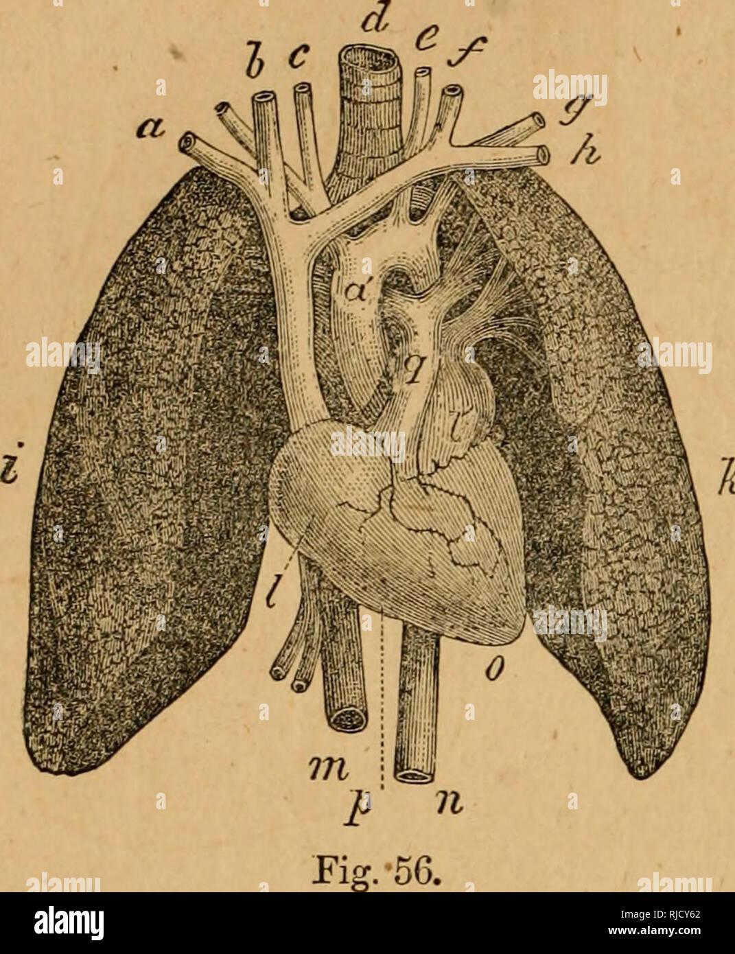dd47e98c1a . Die Kammer wissenschaftliche Leser: mit Holzstichen illustriert. Leser.  64 PHYSIOLOGIE DES MENSCHLICHEN KÖRPERS. Die Atmung.