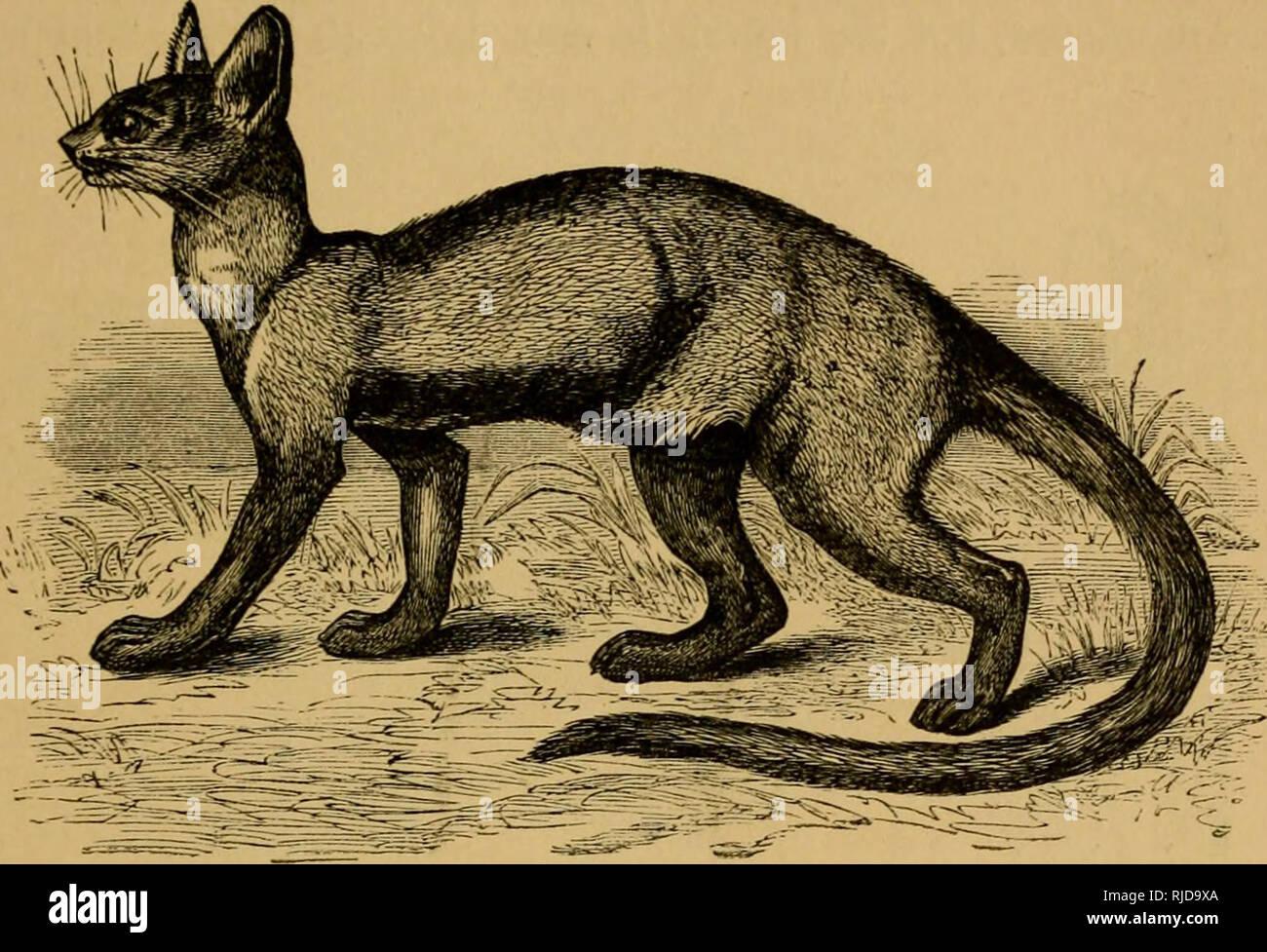 . Die Katze; eine Einführung in das Studium der backboned Tiere, vor allem Säugetiere. Katzen; Anatomie, Vergleichende. CHAP, xm.] DER KATZE IN DER NATUR. 485 Die Basis cranii (Abb. 205) zeigt eine deutliche Ali - Sphenoid Kanal {a, a) und A. carotis Foramen in der Nähe des vorderen Ende des inneren Rand der hulla, die Hy ein Septum in zwei Kammern unterteilt ist. Die innere. Fij. 203.- Die Foussa {Cryptoprocta jcrox). Dieser Kammern ist ganz hinten in der Situation, und der BULLA ist viel mehr hinter als vor Prominenten. Die paroccipital Prozess ist nicht prominent, ist aber auf die Bulla angewendet, und das Mastoid. Stockbild