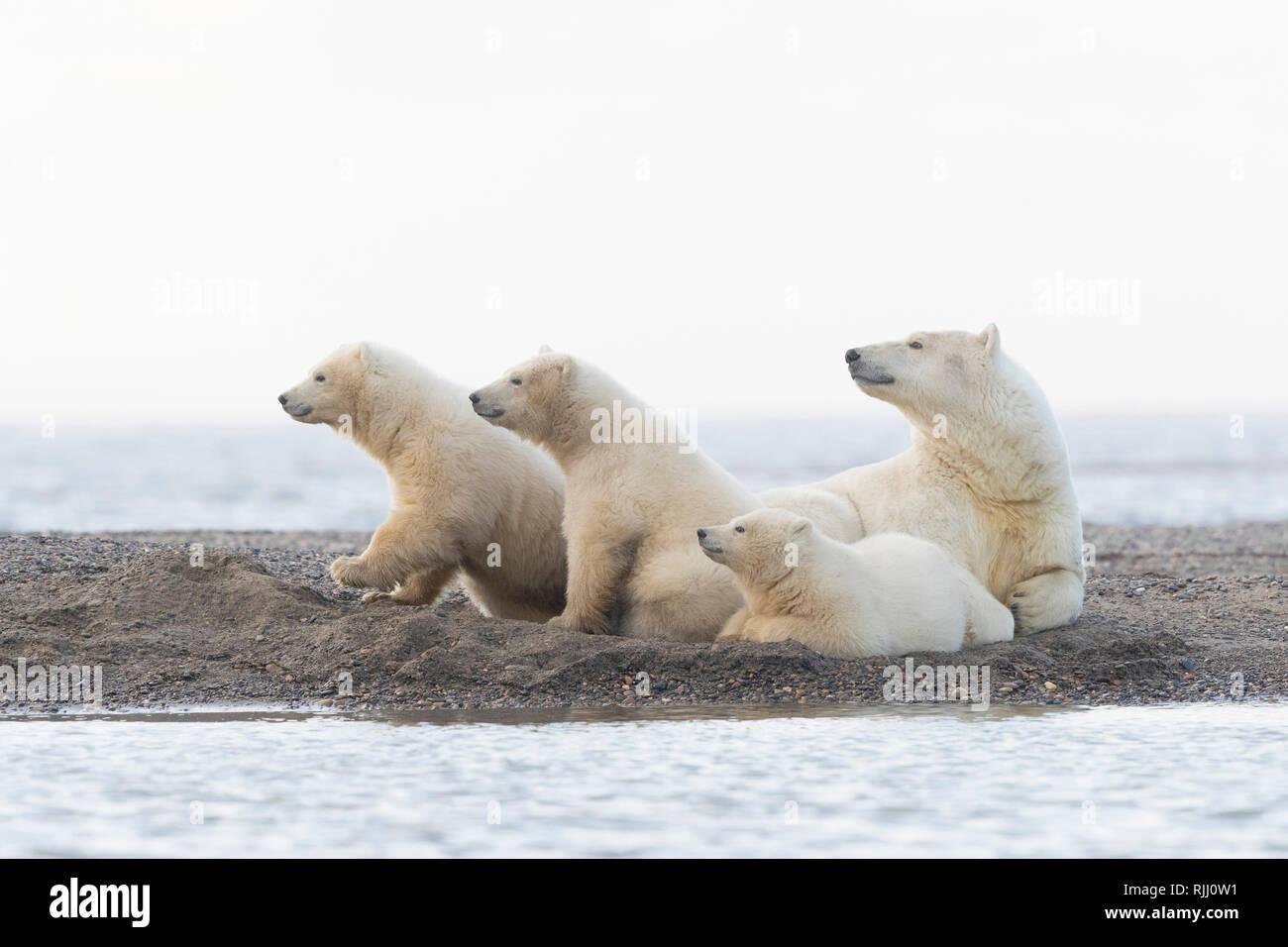Eisbär (Ursus maritimus, Thalarctos maritimus). Mutter und drei Jungen, die auf einer vorgelagerten Insel. Kaktovik, Alaska. Stockfoto