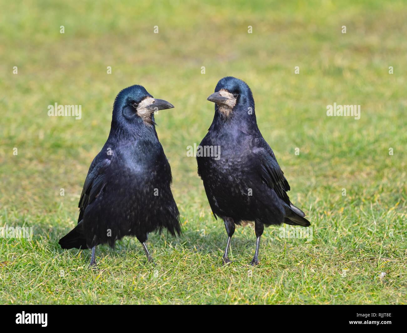 Saatkrähe Corvus frugilegus Paarung bis Anfang Februar Ostküste Norfolk Stockbild