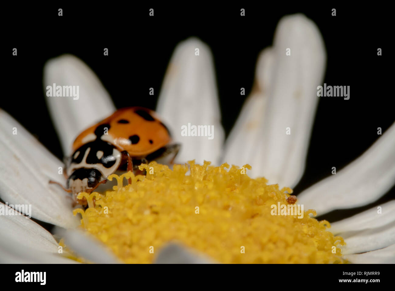 Orange Und Schwarz Spot Marienkäfer Kriechen Auf Eine Weiße Blume