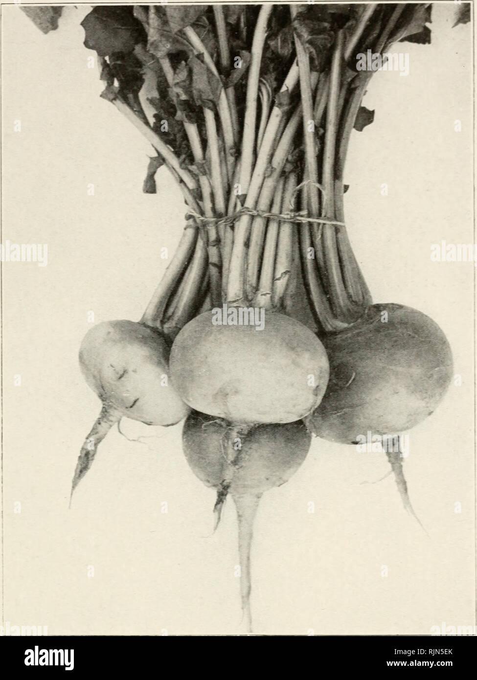 Gemüse Rübe Schneeball 1000 Samen