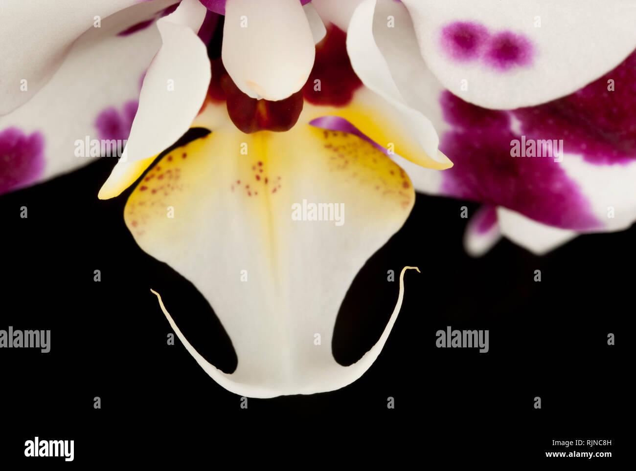 Eine Orchidee auf schwarzem Hintergrund Stockfoto