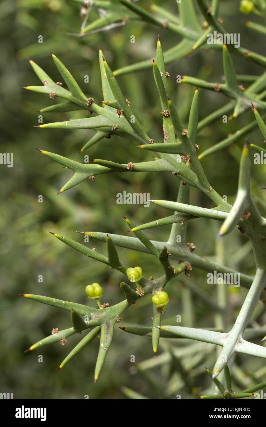 Colletia (Colletia spinosissima) Stockbild