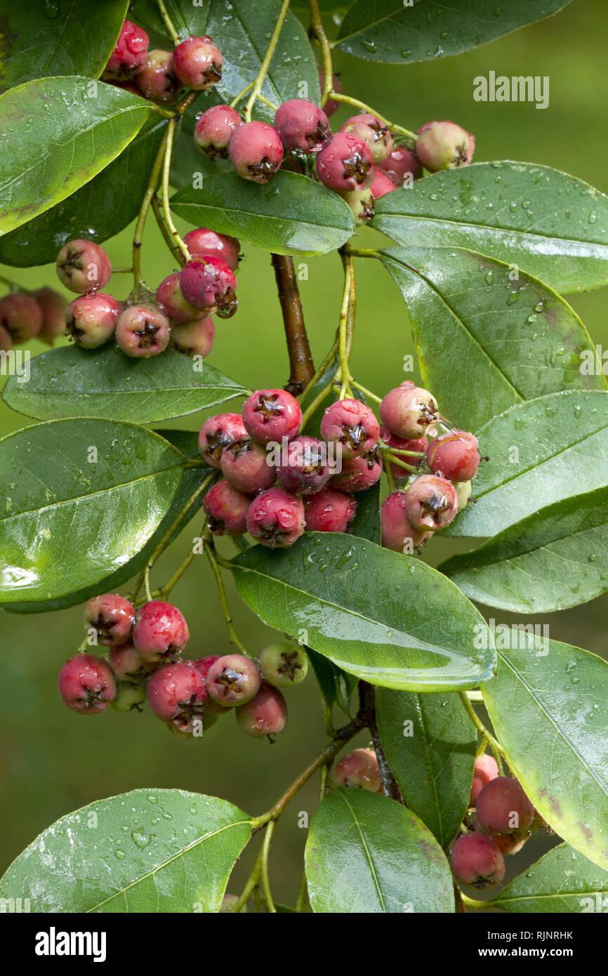 Cotoneaster (Cotoneaster arbusculus) Stockbild