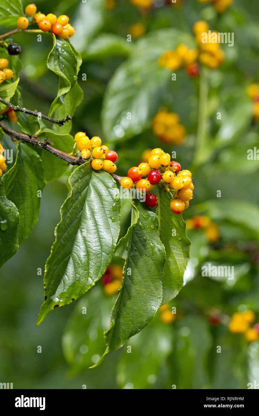 (Rhamnella Rhamnella franguloides) Stockbild
