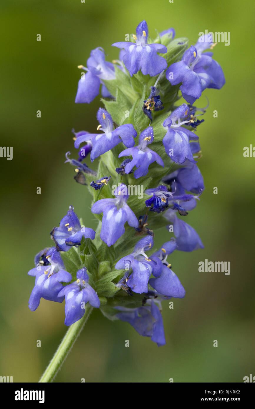 Chia (Salvia hispanica) Stockbild