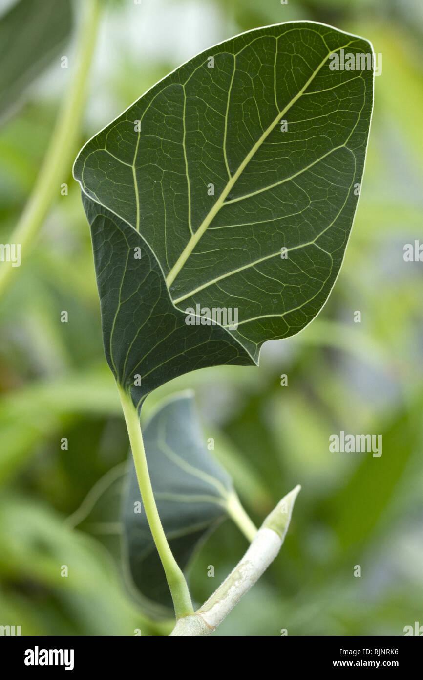 Indische Banyan (Ficus benghalensis var. krishnae) Stockbild