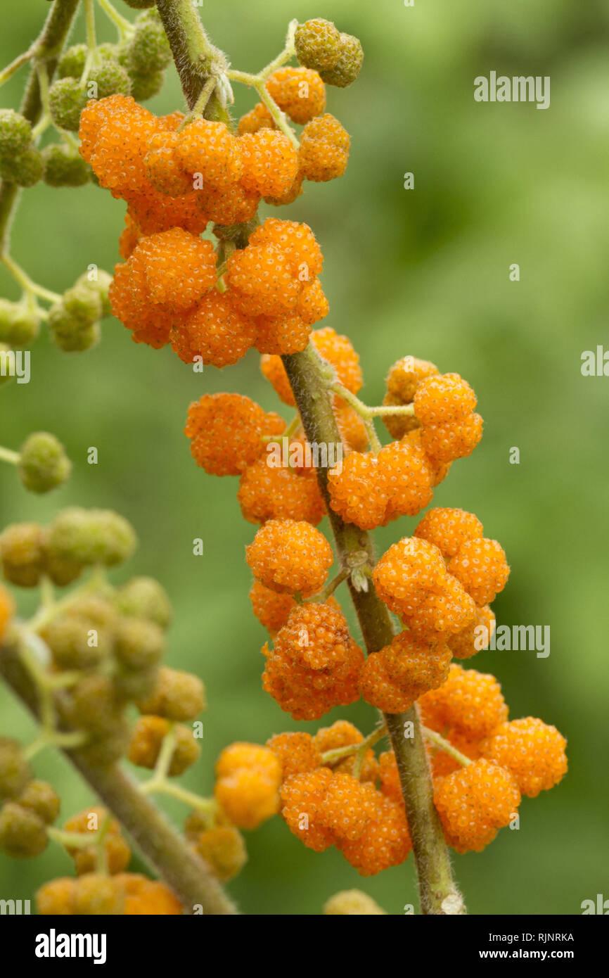 Orange wilde Rhea (Debregeasia longifolia) Stockbild