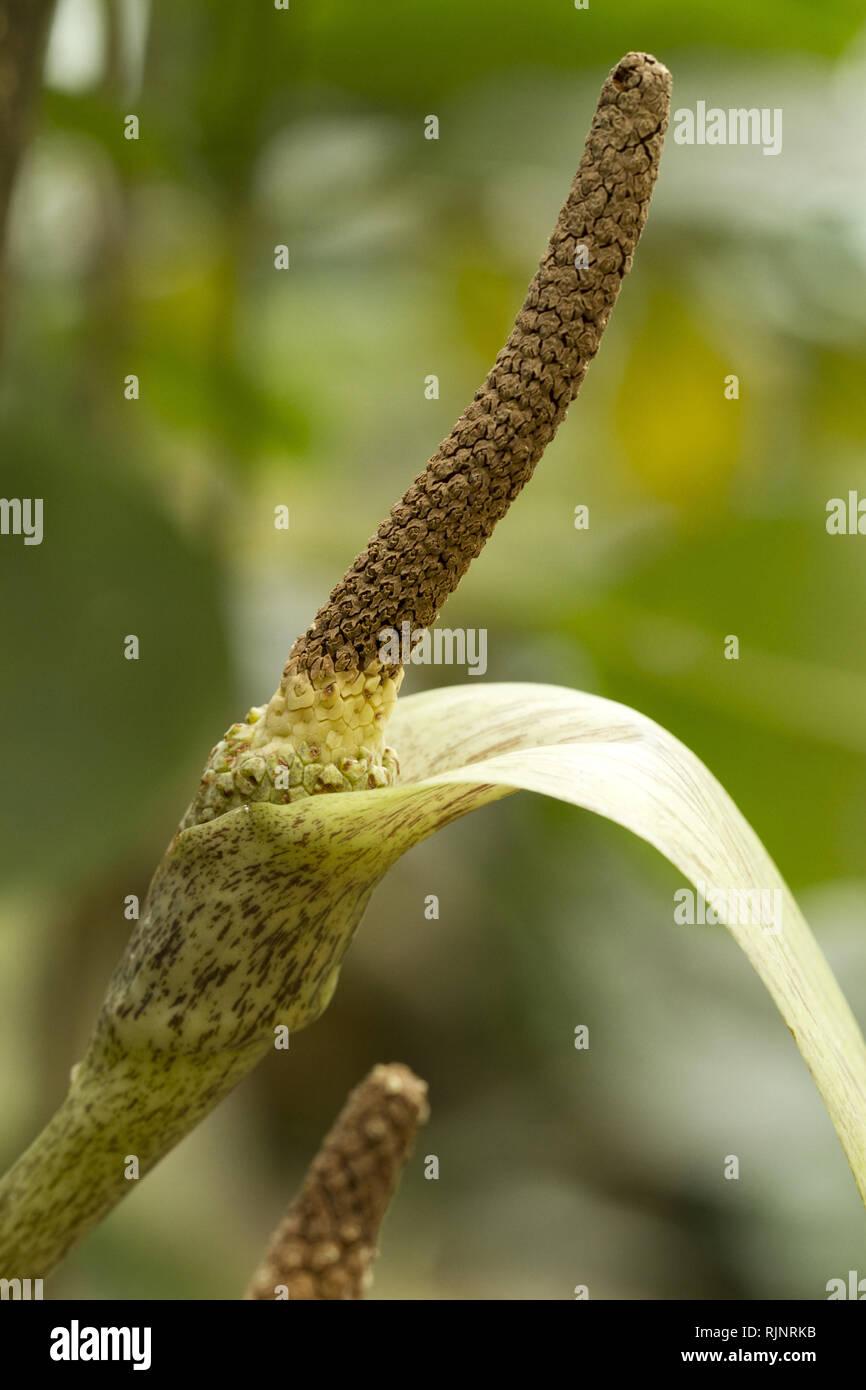 Sand Wald arum (Gonatopus boivinii) Stockbild