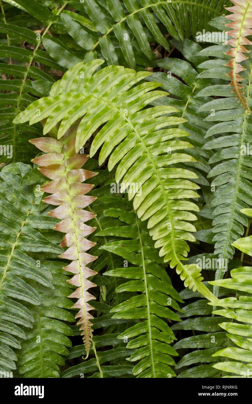 Blechnum Farn (Blechnum appendiculatum) Syn.: (Blechnum occidentale) Stockbild