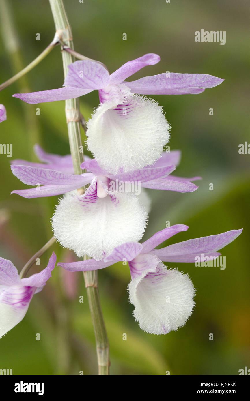 Orchidee (Dendrobium aphyllum) Stockbild