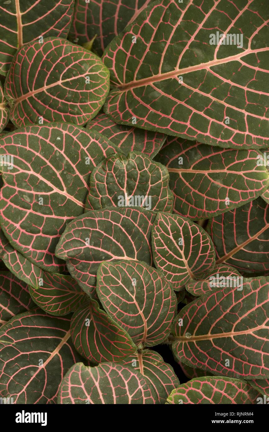 Mosaik Anlage (Fittonia albivenis). Syn.: Fittonia verschaffeltii Stockbild