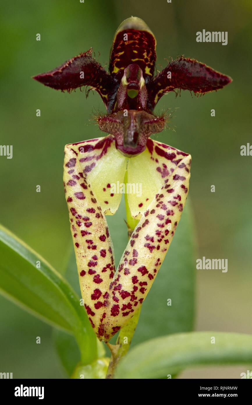 Shaggy lippig Bulbophyllum lasiochilum Bulbophyllum () Stockbild