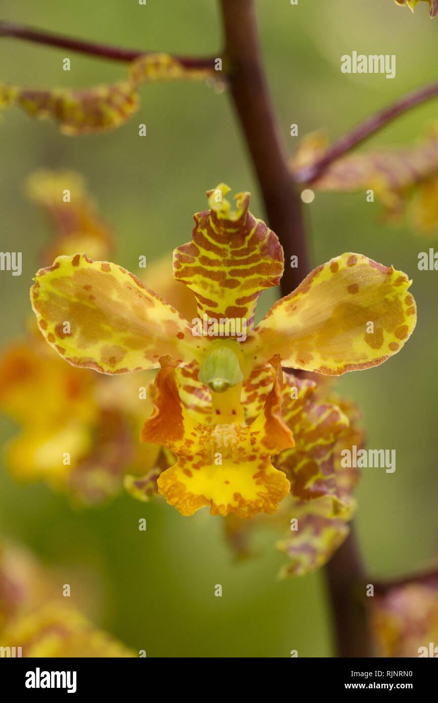 Cyrt orchid (Cyrtopodium Punctatum) Stockbild